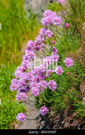 Thrift growing on sea cliffs, Pembrokeshire, Wales - Stock Image