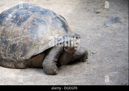 Giant tortoise Galapagos Islands Isabela - Stock Image
