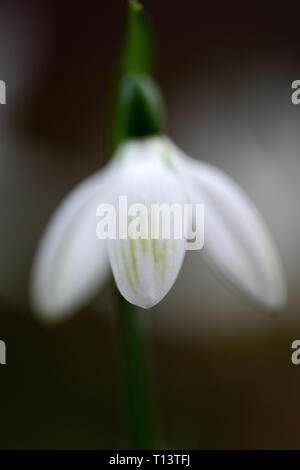 Galanthus Emerald Isle,snowdrop,snowdrops,hybrid,green markings,virescent,spring,flower,flowers,RM Floral - Stock Image