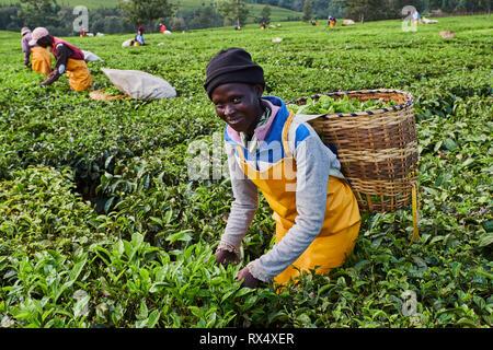 Kenya, Kericho county, Kericho, Evaline CHebe, 35 old, tea picker picking tea leaves - Stock Image