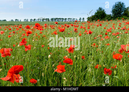Poppies and  cornflowers on a field in Mecklenburg, in the North of Germany. - Stock Image