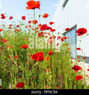 Wild red poppies growing in profusion outside commercial buildings in an urban setting. - Stock Image