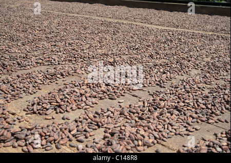 Cocoa seeds drying, Brazil, South America. - Stock Image