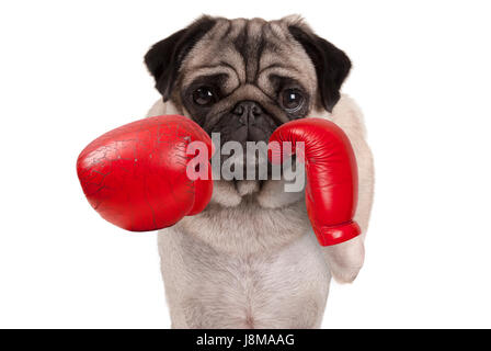 cool pug dog boxer punching with red leather boxing gloves, isolated on white background - Stock Image