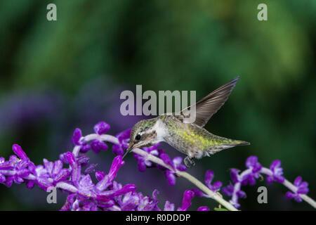 Immature male Costa's Hummingbird (Calypte costae) feeding on Mexican Sage (Salvia leucantha). Tucson - Stock Image