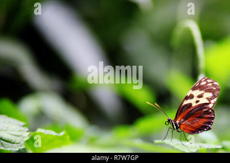 Beautiful Golden Helicon butterfly in green nature garden environment with deliberate soft focus background and copy space. - Stock Image