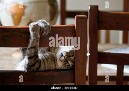 Cat on the chair, playfully looking through the back of the chair - Stock Image
