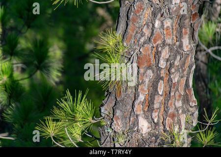 Regrowth through scorched tree bark of the Canary Island Pine tree (Pinus canariensis) at La Cumbrecita, La Palma, Canary Islands, Spain - Stock Image
