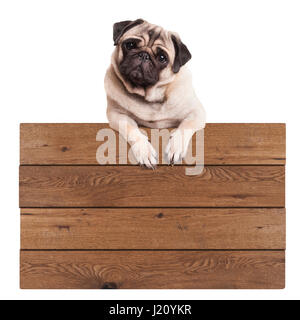 cute pug puppy dog hanging with paws on blank wooden promotional sign, isolated on white background - Stock Image