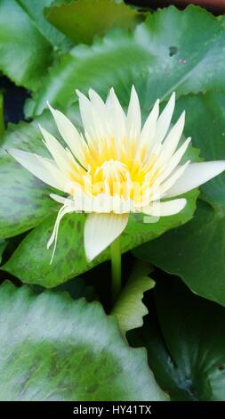 Close-Up Of Water Lily Blooming Outdoors - Stock Image