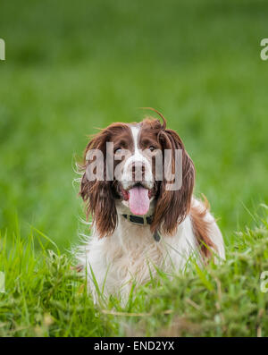 English Springer Spaniel dog in a grass field - Stock Image