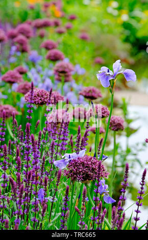 mixed flowers in english cottage garden, norfolk, england - Stock Image