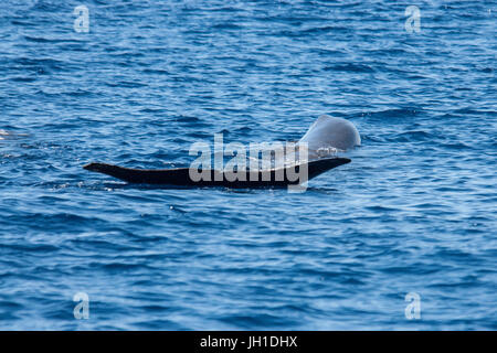 Sperm whale, Physeter macrocephalus, cachalot or Pottwal, stretching at surface, showing tail flukes, Azores, Atlantic - Stock Image