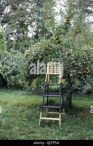 Ladder at apple orchard, Claverack, NY, USA - Stock Image