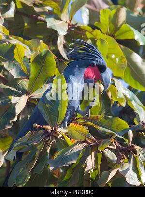 Palm Cockatoo (Probosciger aterrimus) feeding, Cape York Peninsula, Far North Queensland, FNQ, QLD, Australia - Stock Image