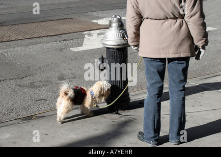 Low section of woman walking small dog in winter, New York, NY, USA - Stock Image