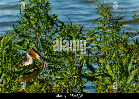 Rutland water Oakham 26 th June 2018: Great crested grebes nesting, bathing swans on a hot day as Gray Heron Little Egret fishing, mother feeds her young, young male Ofspray takes his fiorst flight.  Clifford Norton Alamy  Live News. - Stock Image