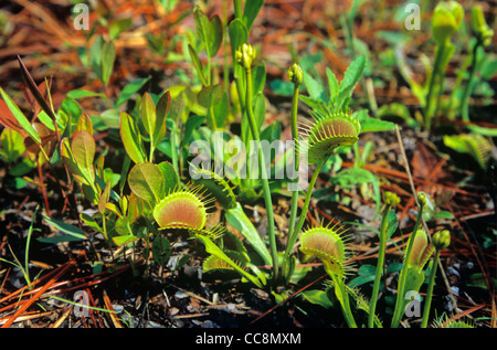 Venus Fly Trap, an insectivorous plant, found along Fly Trap Trail at Carolina Beach State Park, near Wilmington, - Stock Image