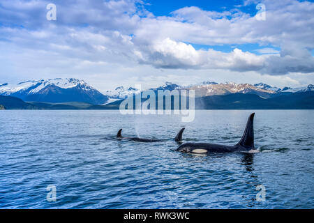 Orca whale (Orcinus orca) pod in Lynn Canal with Herbert Glacier and Coast Range in the background, Southeast Alaska; Alaska, United States of America - Stock Image