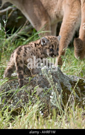 a baby mountain lion with her mother - Stock Image