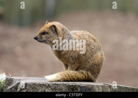 Outdoor image of a yellow mongoose (Cynictis penicillata). - Stock Image
