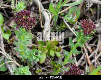 A group of King's Crown (Rhodiola integrifolia) flowers blooming in Nome, Alaska - Stock Image