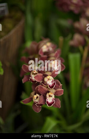 Burgundy Orchid Blossoms - Stock Image