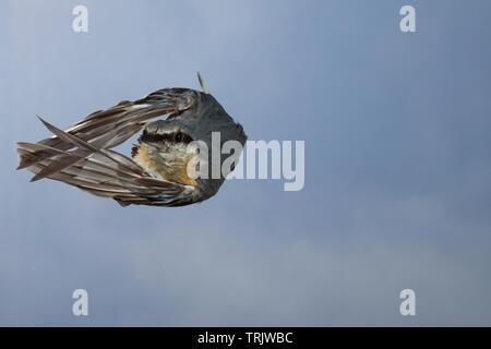 Kleiber, Spechtmeise, Flug, Flugbild, fliegend, Sitta europaea, Nuthatch, Eurasian nuthatch, wood nuthatch, flight, flying, Sittelle torchepot - Stock Image