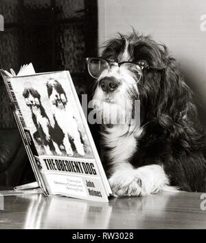 Star dog Ben is shown here with glasses on, reading the book The Obidient Dog by John Holmes of Verwood, Dorset, his owner. Ben is a bearded collie crossed with an English Springer Spaniel and has appeared in several films. December 1975 - Stock Image