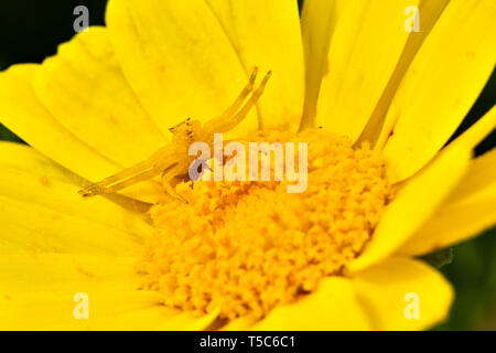 Yellow Crab spider, Thomisus onustus, on yellow daisy, Paphos, Cyprus - Stock Image