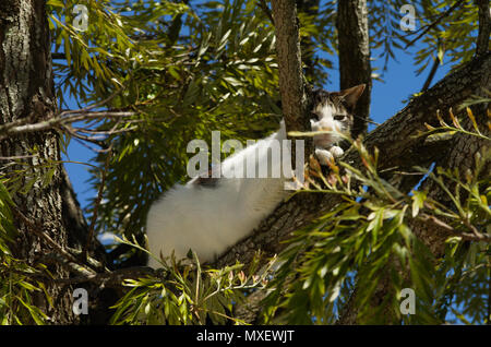 Stray white and grey cat ran up to a tree and waits there for the threat to go away. Looking at the camera. - Stock Image
