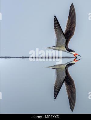 Black Skimmer Skimming - Stock Image