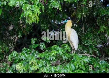 Solitary Capped Heron, Piherodius pileatus, Pantanal, Mato Grosso, Brazil, South America - Stock Image