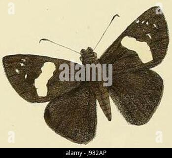 Notocrypta feisthamelii alysos1 - Stock Image