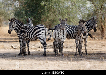 Flock of Zebra´s standing in the shade. - Stock Image