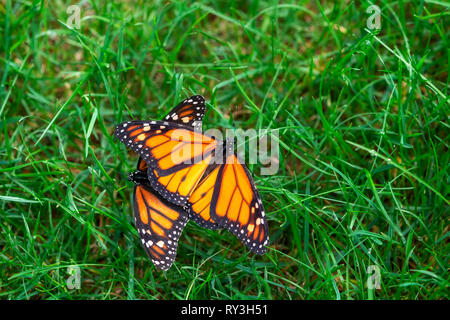 Monarch butterflies Danaus plexippus mating in the grass - Stock Image