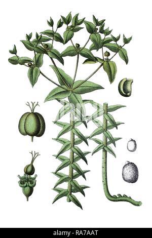Caper spurge, Paper spurge (Euphorbia lathyris), a medicinal plant, historic chromolithography, about 1796 - Stock Image