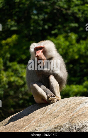 Baboon (Papio hamadryas) Male, sitting on rock, Hellabrunn Zoo, Munich, Upper Bavaria, Germany, Europe. - Stock Image