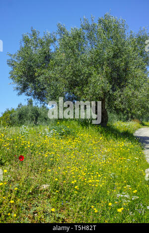 Countryside landscape with olive trees grove in spring season with colorful blossom of wild flowers - Stock Image