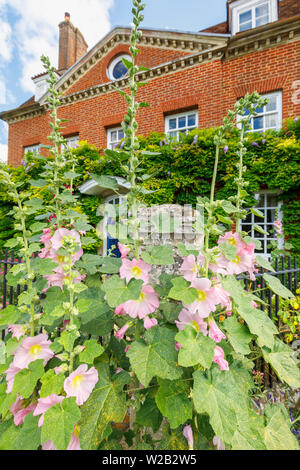 Tall pretty pink hollyhocks flowering outside a town house in Cathedral Close, Salisbury, a cathedral city in Wiltshire, south-west England, UK - Stock Image