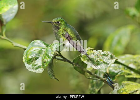 Booted Racket-tail (Ocreatus underwoodii melanantherus) adult male perched on twig  Nono-Mindo Road, Ecuador                   February - Stock Image