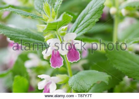 Melittis melissophyllum 'Royal Velvet Distinction' flowers. - Stock Image