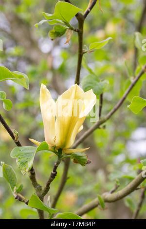Magnolia 'Judy Zuk' flower. - Stock Image
