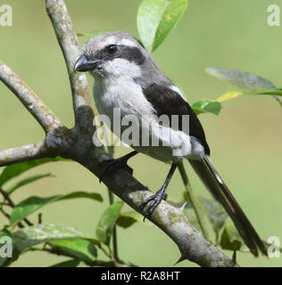 Mackinnon's shrike or  Mackinnon's fiscal (Lanius mackinnoni). Bwindi Impenetrable National Park, Bwindi,  Uganda. - Stock Image