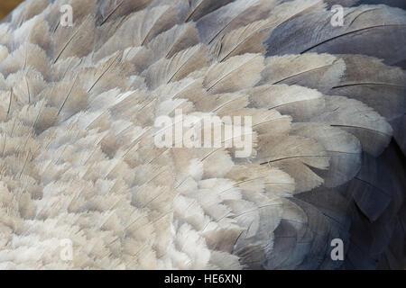Crane, Grus grus, Kranich, Hornborga, Sweden, crane feathers, detail - Stock Image