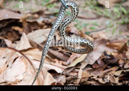 Underside of a Mato Grosso Lancehead Viper, Bothrops mattogrossensis, Pantanal, Mato Grosso, Brazil, South America - Stock Image