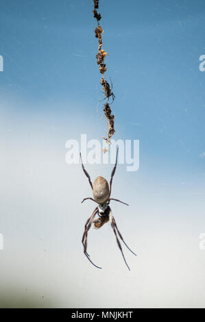 Dangling spider at the Mt Coot-tha Botanic Gardens, Brisbane, Queensland, Australia - Stock Image