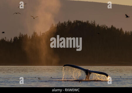 Feeding time. Humpback whales with seagulls during a peaceful sunset in Blackfish Sound, First Nations Territory, off Vancouver Island, British Columb - Stock Image