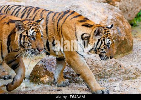Indochinese tiger or Corbett's tiger (Panthera tigris corbetti), Thailand - Stock Image
