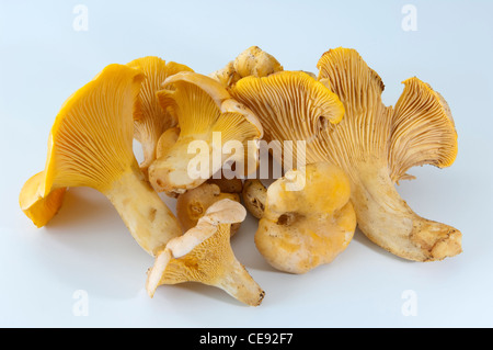Yellow Chanterelle (Cantharellus cibarius). Several mushrooms. Studio picture against a white background. - Stock Image